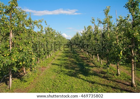 Apple orchard. Apple trees against the sky in summer
