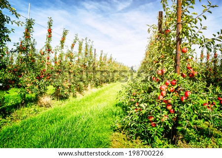 Apple orchard at sunny summer day  - stock photo