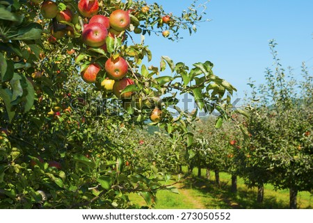 apple orchard, before harvest  - stock photo