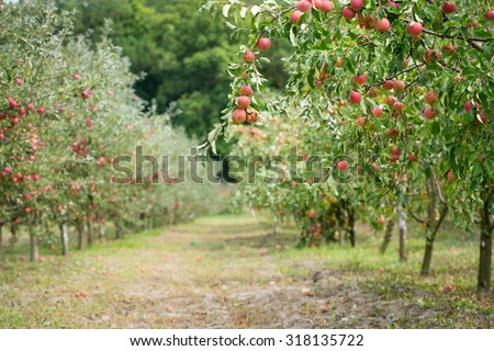 Apple orchard: fresh ripe fruits hanging on trees - stock photo