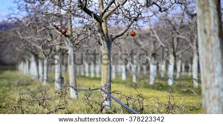 apple orchard in february - stock photo