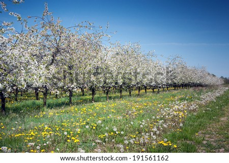 Apple orchard, spring - stock photo