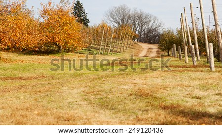 Apple Orchard trees full of rippend apples. - stock photo