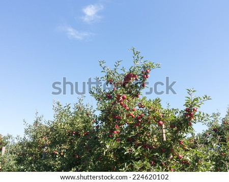 Apple Orchard with ripe fruit - stock photo