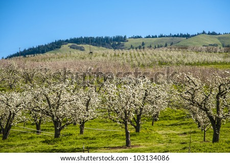 Apple orchards blossoming white in springtime