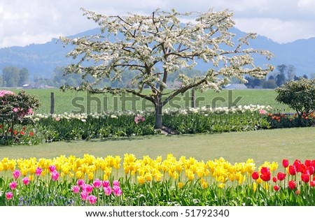 Apple tree blooming in field with blossoming tulips in foreground - stock photo