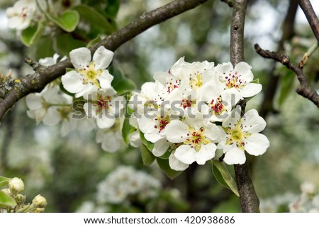 Apple tree blossom at springtime / Apple tree - stock photo
