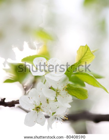 Apple tree blossom in spring - stock photo