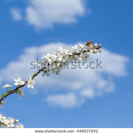apple tree blossom in spring over blue sky background - stock photo