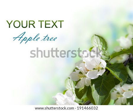 Apple-tree blossom on white background. Spring.   - stock photo