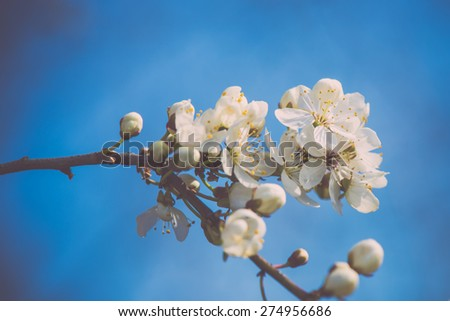 apple tree blossoms in the spring on blue sky background - retro vintage looking effect
