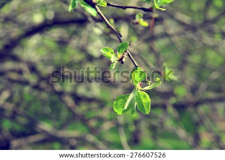Apple tree branch. Apple tree growing, the green branch with bright green leaves, leafs. Green spring plant. Plant shoot green leafs. Nature garden with branch and leaves. Apple tree growing up.  - stock photo