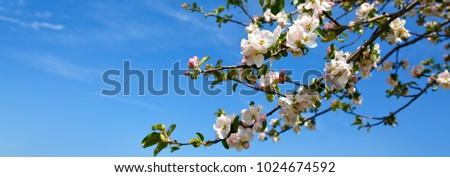Apple tree branch isolated on blue sky background.