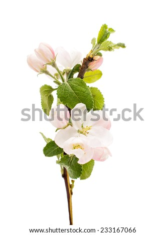 apple tree branch with flowers on a white background - stock photo
