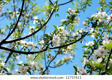 Apple tree branches in early Spring with clear blue sky in background - stock photo