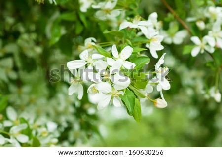 Apple tree flower blossoming at spring time, floral background - stock photo