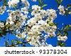 Apple-tree flowering - stock photo