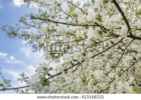 Apple tree flowers and tree in blossom
