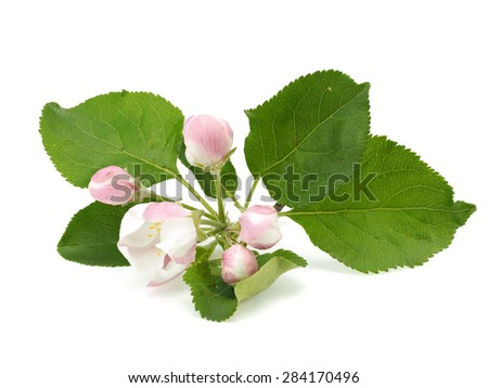 Apple tree flowers on a white white background   - stock photo