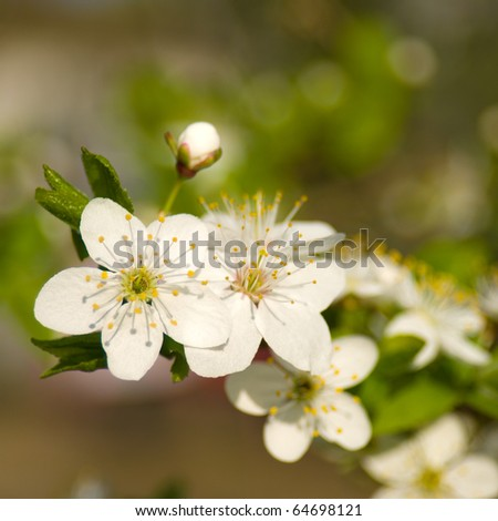 Apple tree flowers. Shallow depth of field - stock photo
