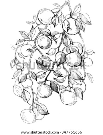 Apple tree fruits, leaves. Hand drawn amazing artwork. Love bohemia concept for textile fashion design, wedding invitation, card, ticket, boutique label.  Black and white. Coloring book page for adult - stock photo