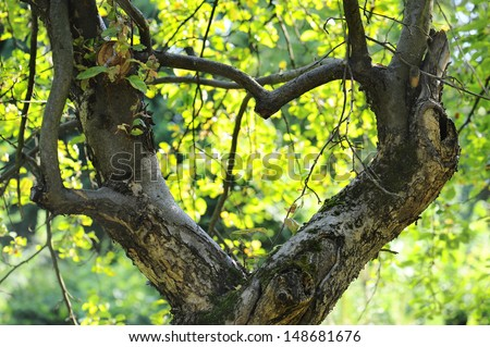 apple tree growing in the shape of heart - stock photo