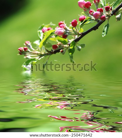 Apple tree in blossom over the green background - stock photo