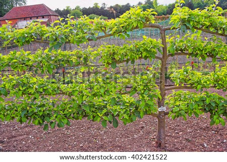 Apple Tree in the Kitchen garden in Audley End House in Essex in the United Kingdom. It is a medieval county house. Now it is under protection of the English Heritage. - stock photo