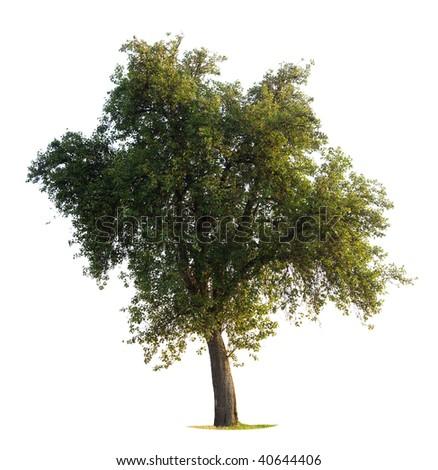Apple Tree isolated on white - stock photo