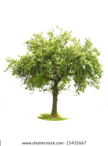 Apple Tree isolated on white (For more ISOLATED TREES please visit my portfolio) - stock photo