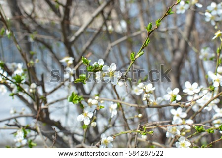 Apple tree spring blooms soft background stock photo edit now apple tree spring blooms in soft background of branches and sky early spring white mightylinksfo