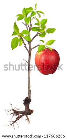 Apple tree with a root - stock photo