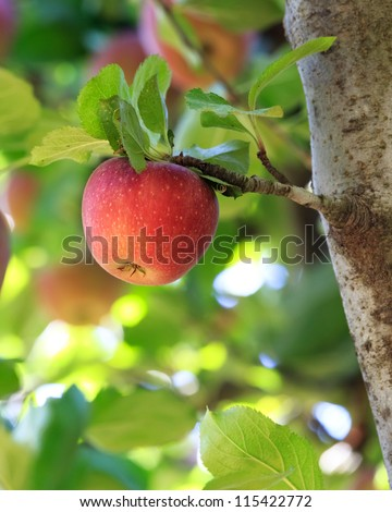 apple tree with apples - stock photo