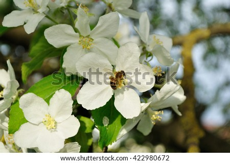 Apple tree with bee collecting nectar from a flower. Apple blooming tree in the sunny spring garden. Natural spring floral background.  Selective focus at the central apple flower.  - stock photo