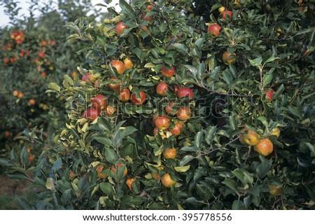 Apple tree with ripe apples - stock photo