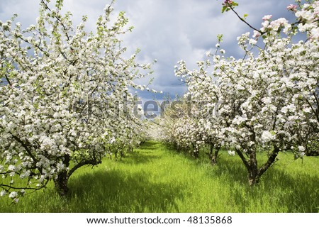 Apple trees during blooming. Spring orchard. Shallow DOF. - stock photo