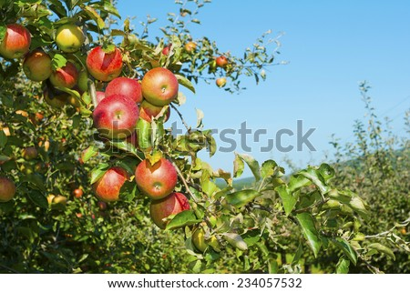 apple trees in a row, before harvest  - stock photo