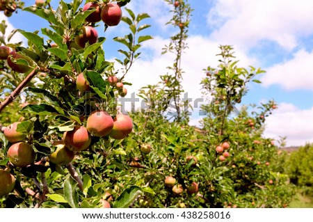 Apple trees in a row on the Golan Mountain. Israel. - stock photo