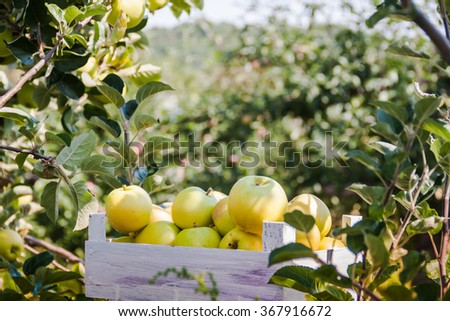 Apple trees in an orchard with ripe apples ready for harvest. - stock photo