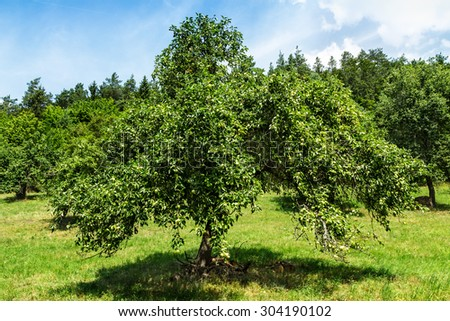 apple trees in apple orchard in a summer day