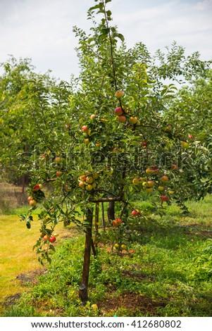 Apple trees in the garden - stock photo