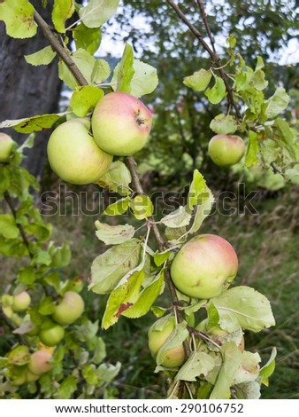 Apple, which grows on a branch in the garden