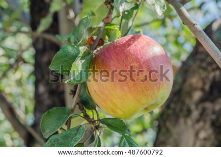 Apples growing on a tree in the garden