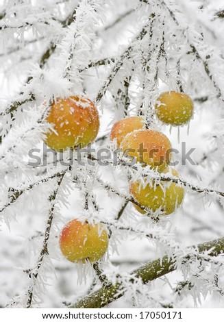 apples hanging at a tree covered with white frost - stock photo