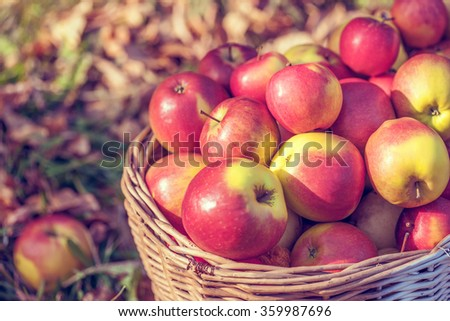 Apples in the basket on the autumn grass - stock photo