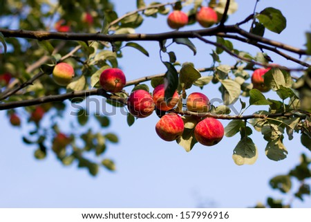 Apples in tree