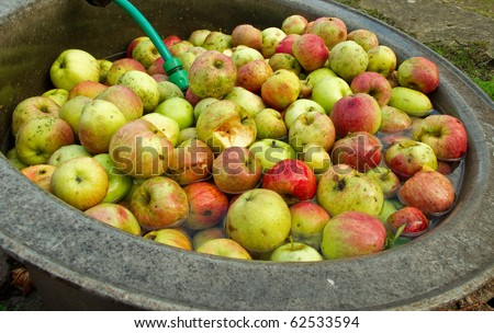 apples in water-bath to wash them before juice is produced. organic farming