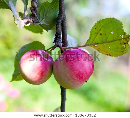 apples on apple-tree branches - stock photo