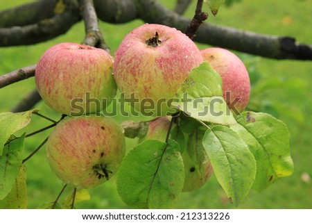 Apples on the tree  - stock photo