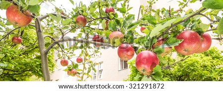 Apples on the tree in bright sunlight - stock photo